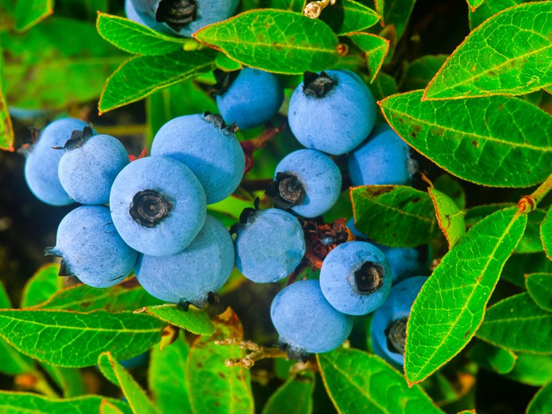 Blue Berry Bushes