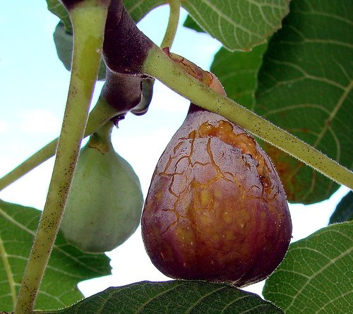 Easy Ways to Select, Store, and Cook With Fresh Figs