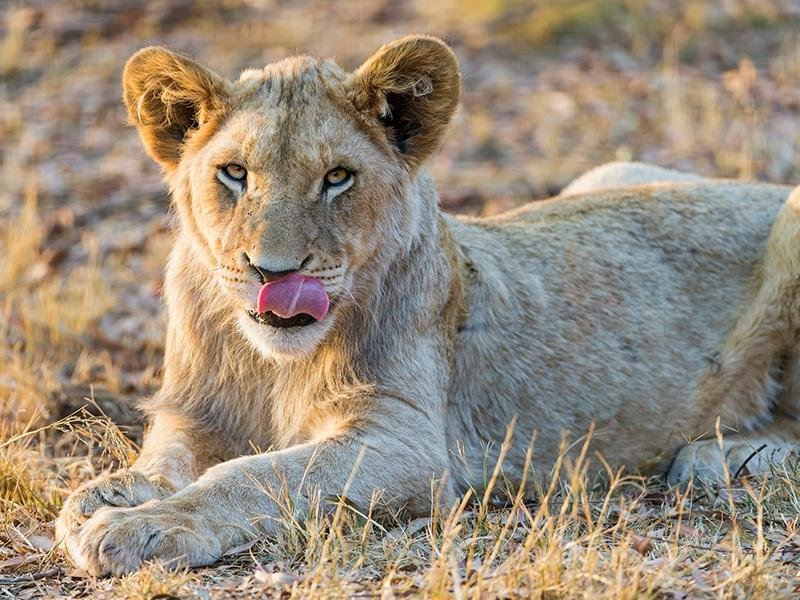 Yes, Lions Will Hunt Humans if Given the Chance | Smart ...