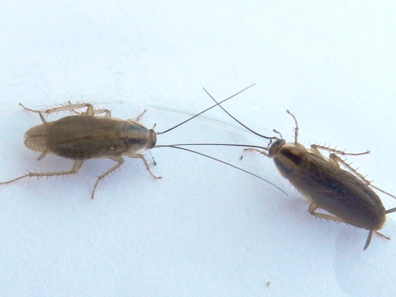 how to get rid of baby roaches in kitchen