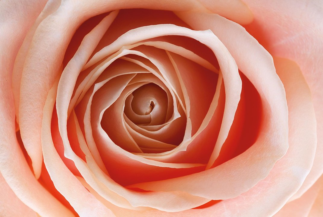 A new rose is part plant part color changing machine for Color changing roses