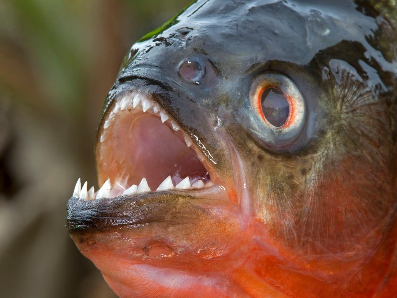 A piranha was just found in an arkansas lake smart news for Parana the fish