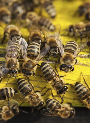 A diversity of bees is good for farmers for 2386 87 0