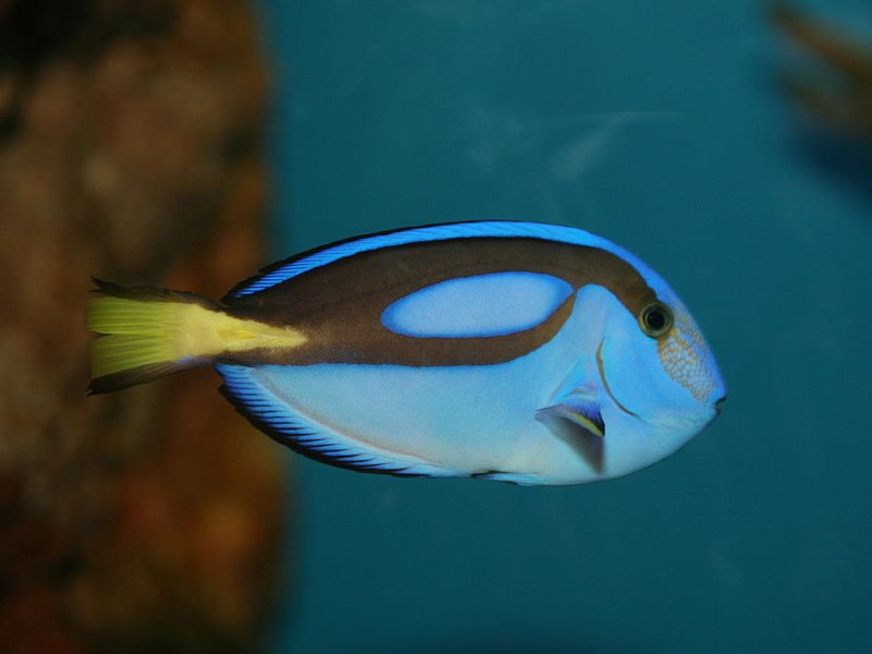 Conservationists are worried that finding dory could be for Blue tang fish price