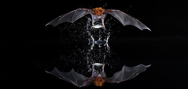 The call of the panama bats science smithsonian for Fish eating bat