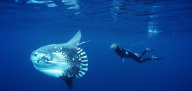 Unraveling the Mysteries of the Ocean Sunfish | Science ...