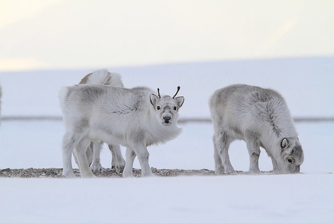 Warms, What Happens to the Reindeer? | Page 2 | Science | Smithsonian ...