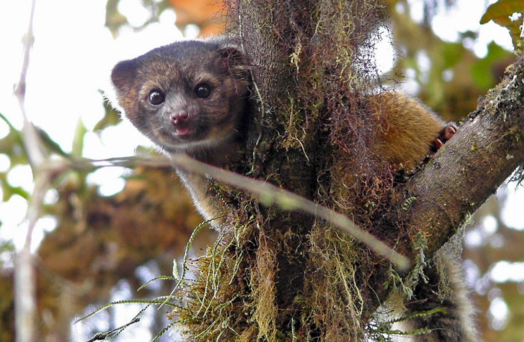 One Year After Discovery Crowdsourcing The Olinguito At