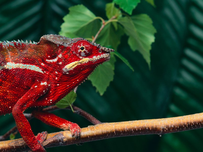 We Finally Know How Chameleons Change Their Color | Smart ...