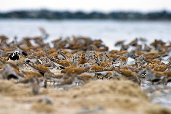 red knot and horseshoe crab relationship