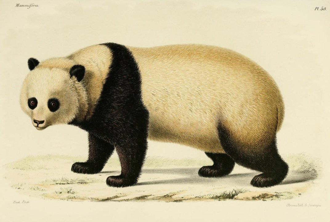 how america fell in love with the giant panda history smithsonian. Black Bedroom Furniture Sets. Home Design Ideas
