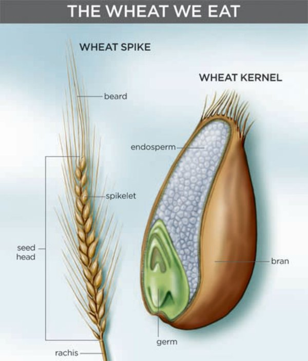 diagram of wheat kernel artisanal wheat on the rise | arts & culture | smithsonian diagram of price elasticity of demand #10